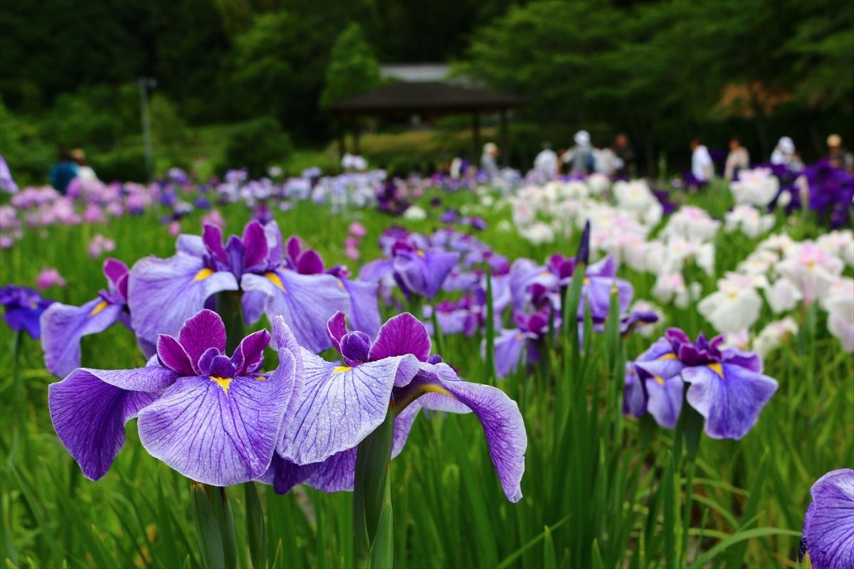 『一宮花しょうぶ園』開園のお知らせ