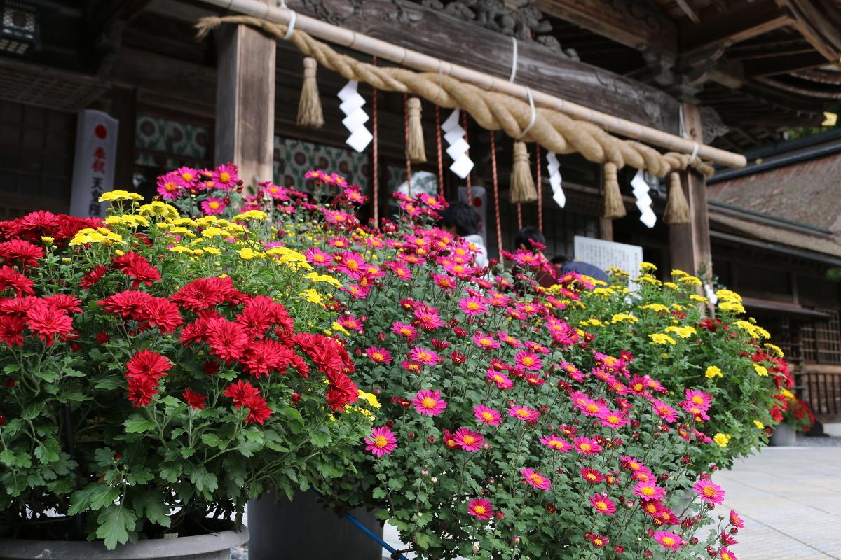 森町菊盛会 『菊花展』開催のご案内 ~11月12日(月)までの展示となります