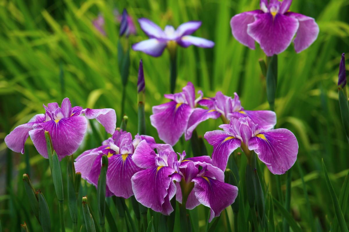 初夏の歳時記 ショウブになったアヤメグサ 見分けの難しいアヤメ、ハナショウブ、カキツバタ、そしてショウブ 古来、日本人はこれらの植物に何を求め、どのように親しんできたのでしょうか。