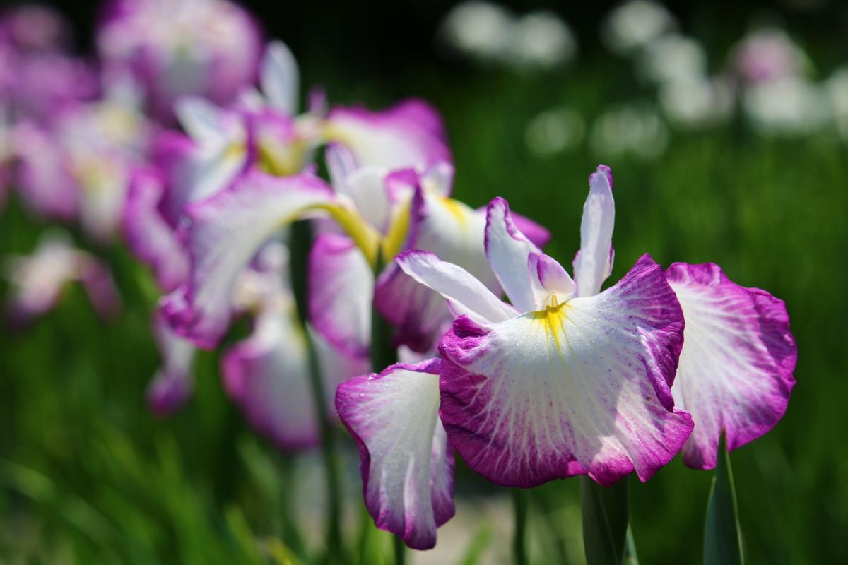一宮花しょうぶ園開花状況!!!② 『咲き始め』