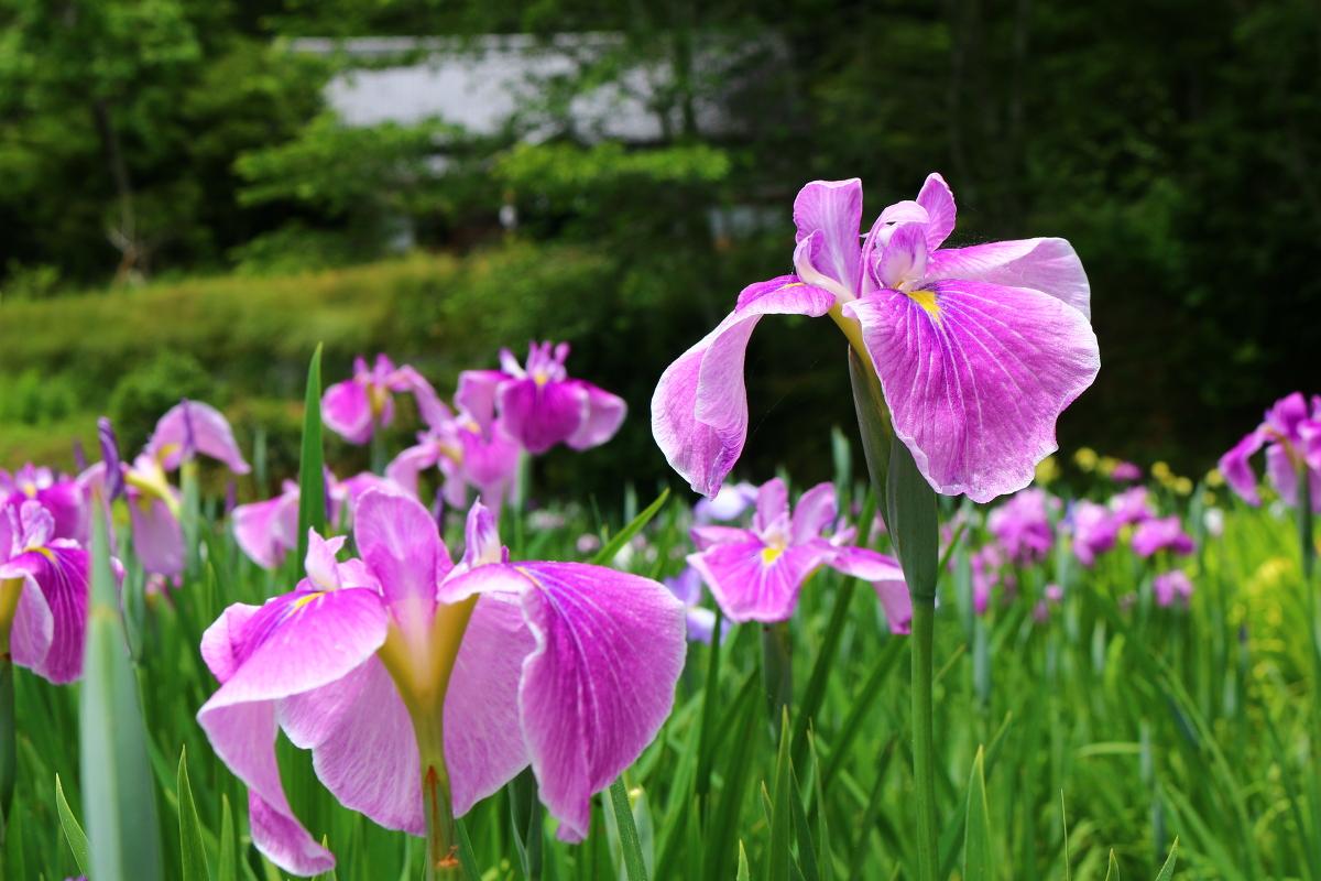 一宮花しょうぶ園開花状況!!!③ 『3分~5分咲き』