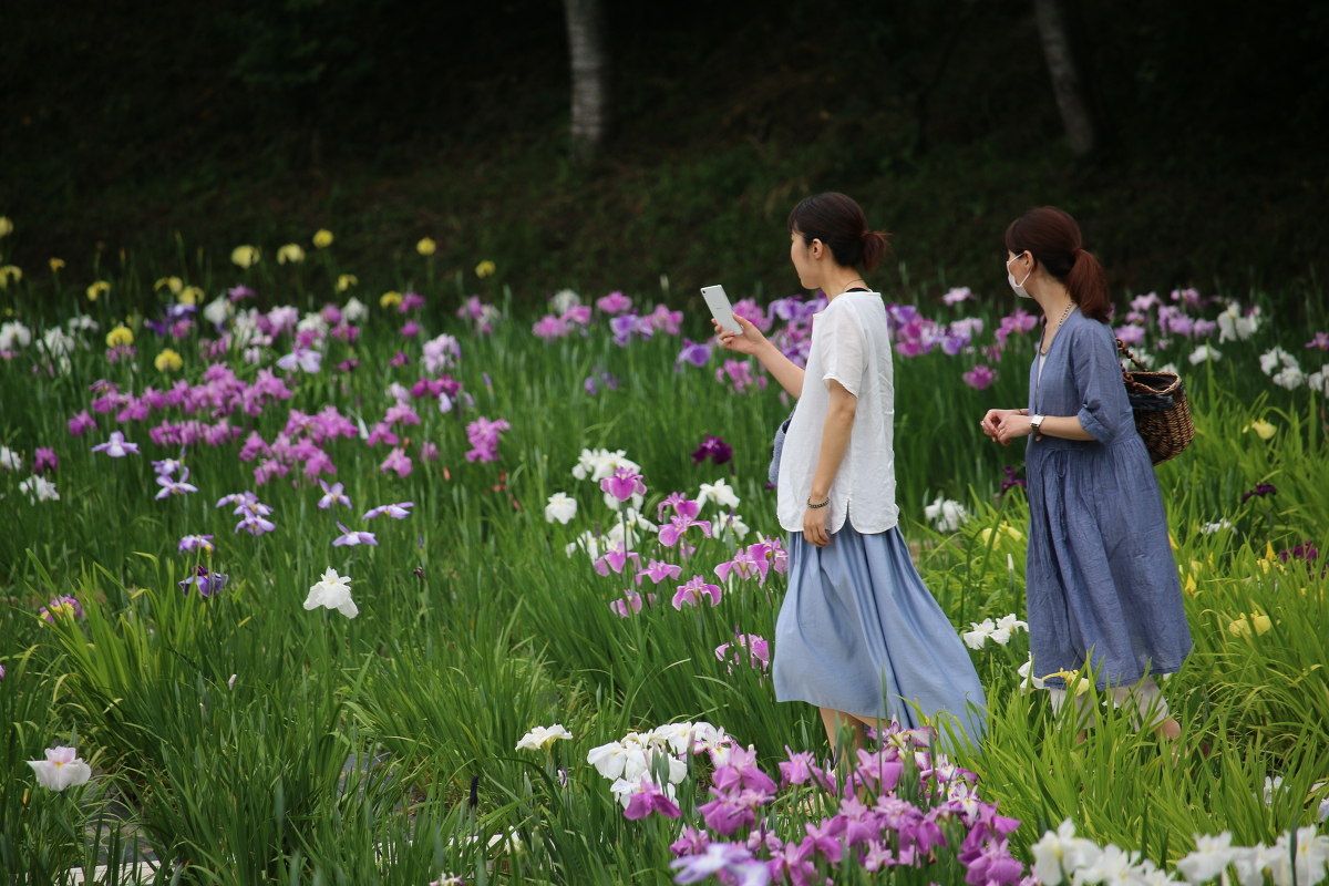 一宮花しょうぶ園開花状況!!!④ 『5分咲き』