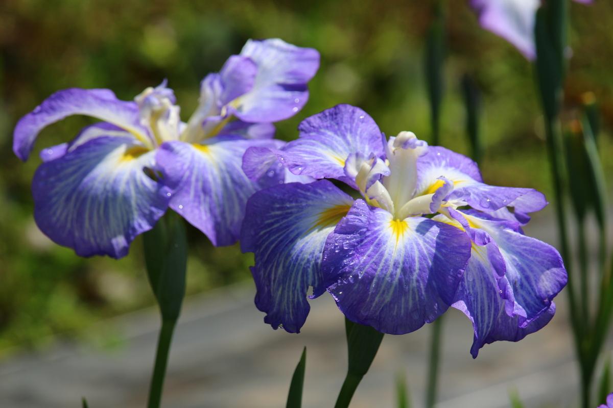 一宮花しょうぶ園開花状況!!!⑦『園内全域で見頃を迎えております』