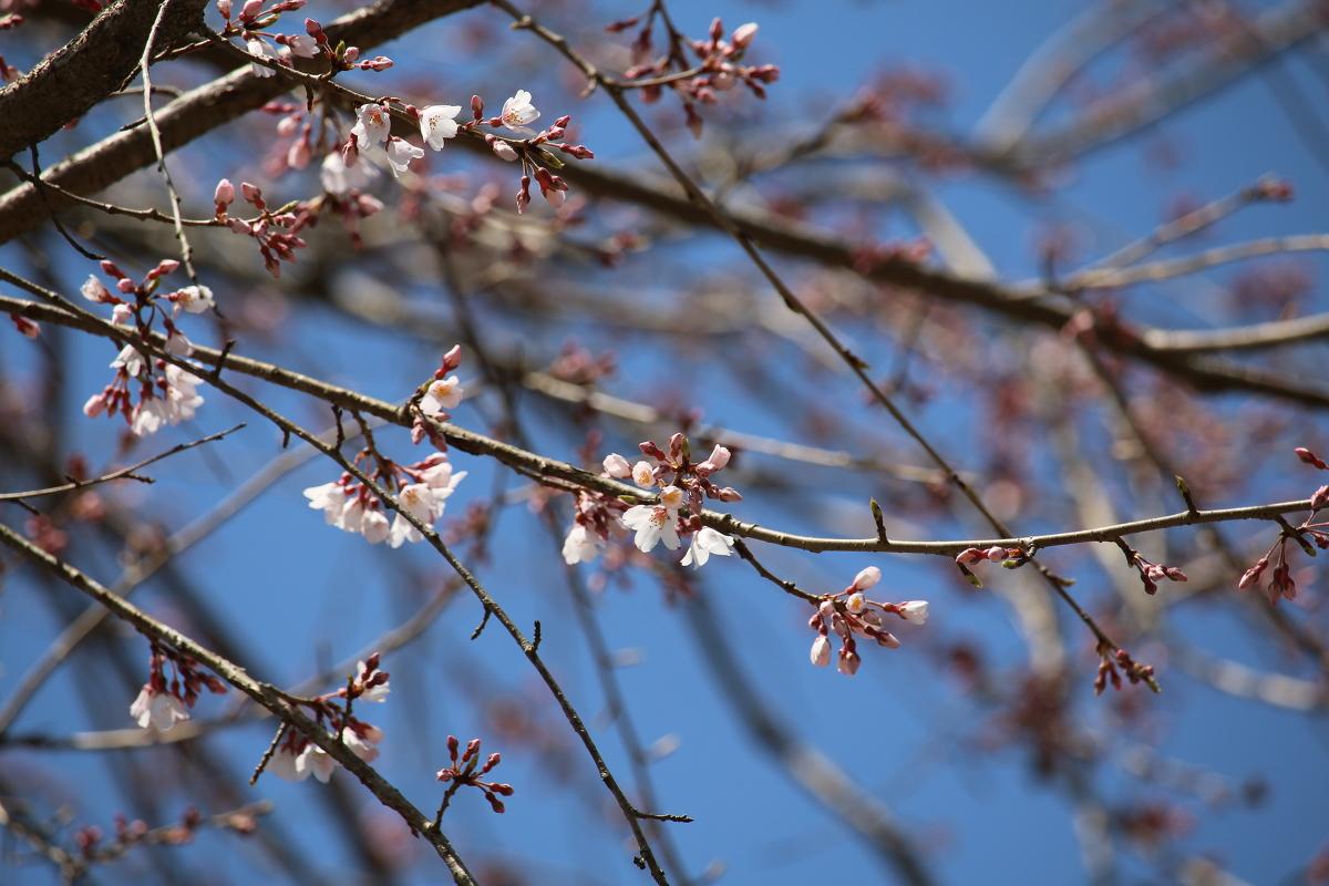 ■小國神社 平成29年春 桜開花状況!!!!①■ 『一分咲き』