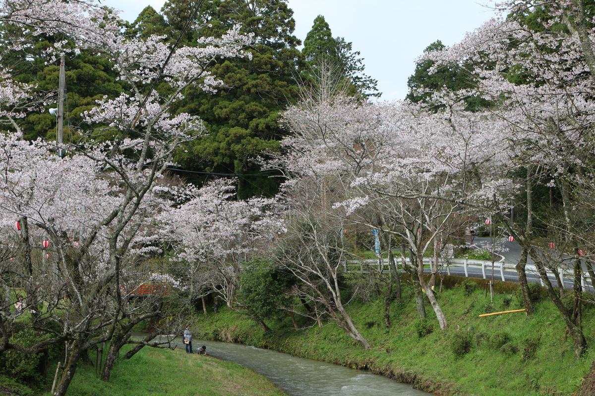 ■小國神社 平成29年春 桜開花状況!!!!⑦■ 『満開』、木により『散り始め』
