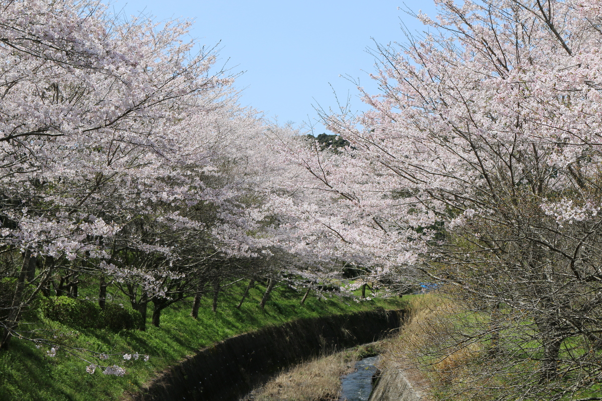 ■小國神社 平成29年春 桜開花状況!!!!⑧■ 『満開』、木により『散り始め』