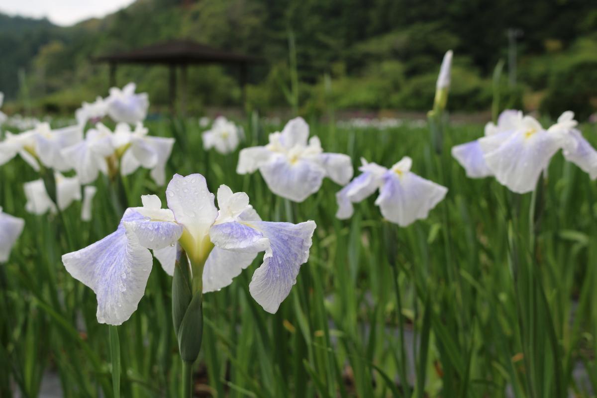 ■一宮花しょうぶ園■開花状況①~咲き始め~
