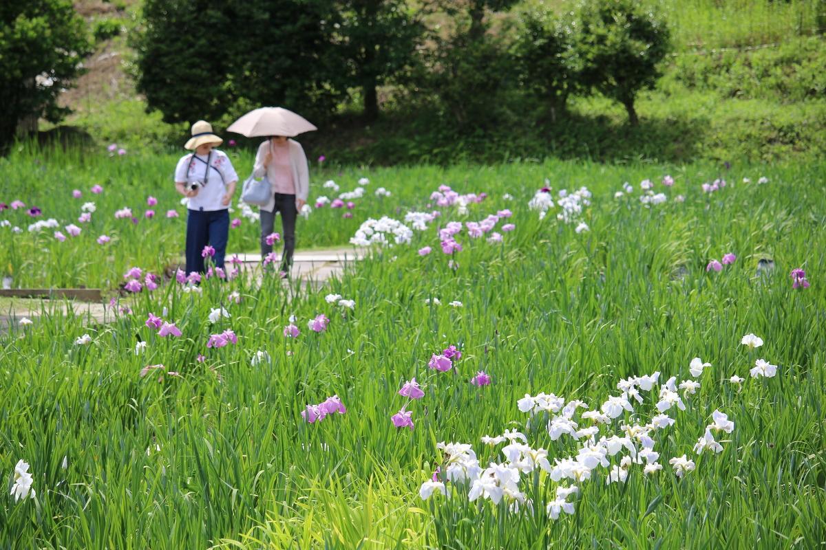 ■一宮花しょうぶ園■開花状況②~1分咲き~