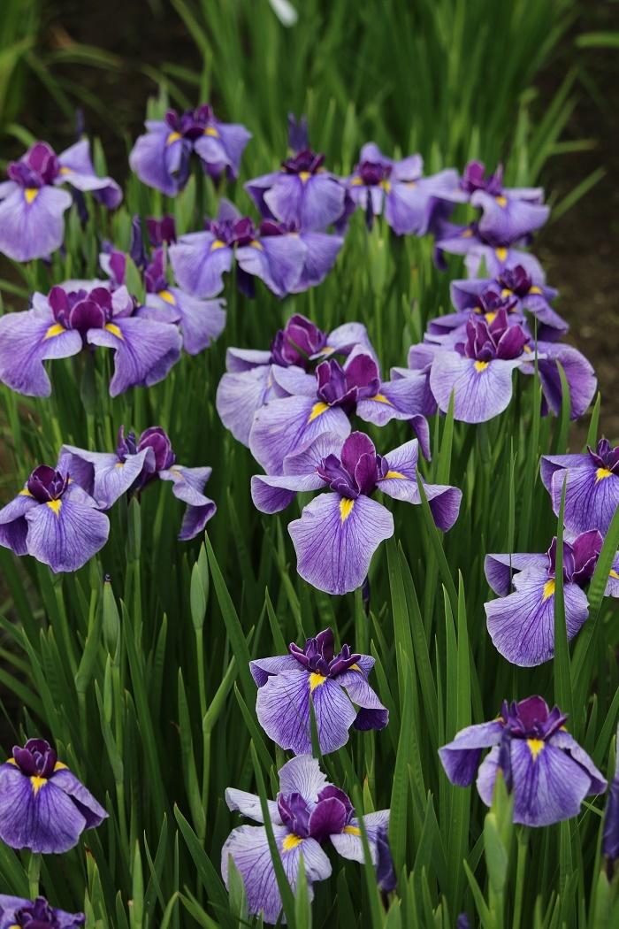 ■一宮花しょうぶ園■開花状況⑥~見頃を迎えています~