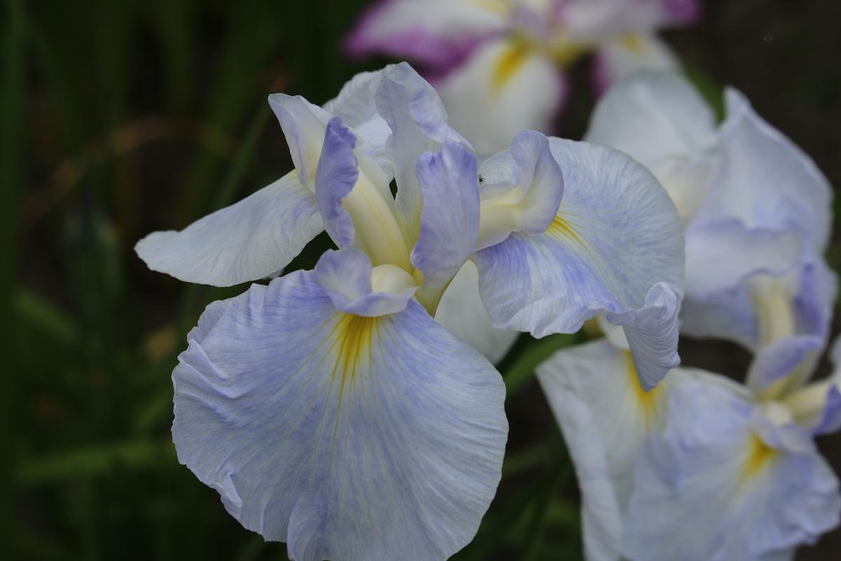 ■一宮花しょうぶ園■開花状況⑦~見頃を迎えています~