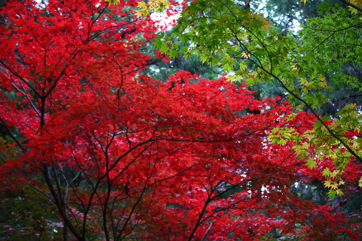 平成29年 小國神社 紅葉情報④「薄い色づき/薄紅葉」◎見頃は11月下旬から12月上旬に◎