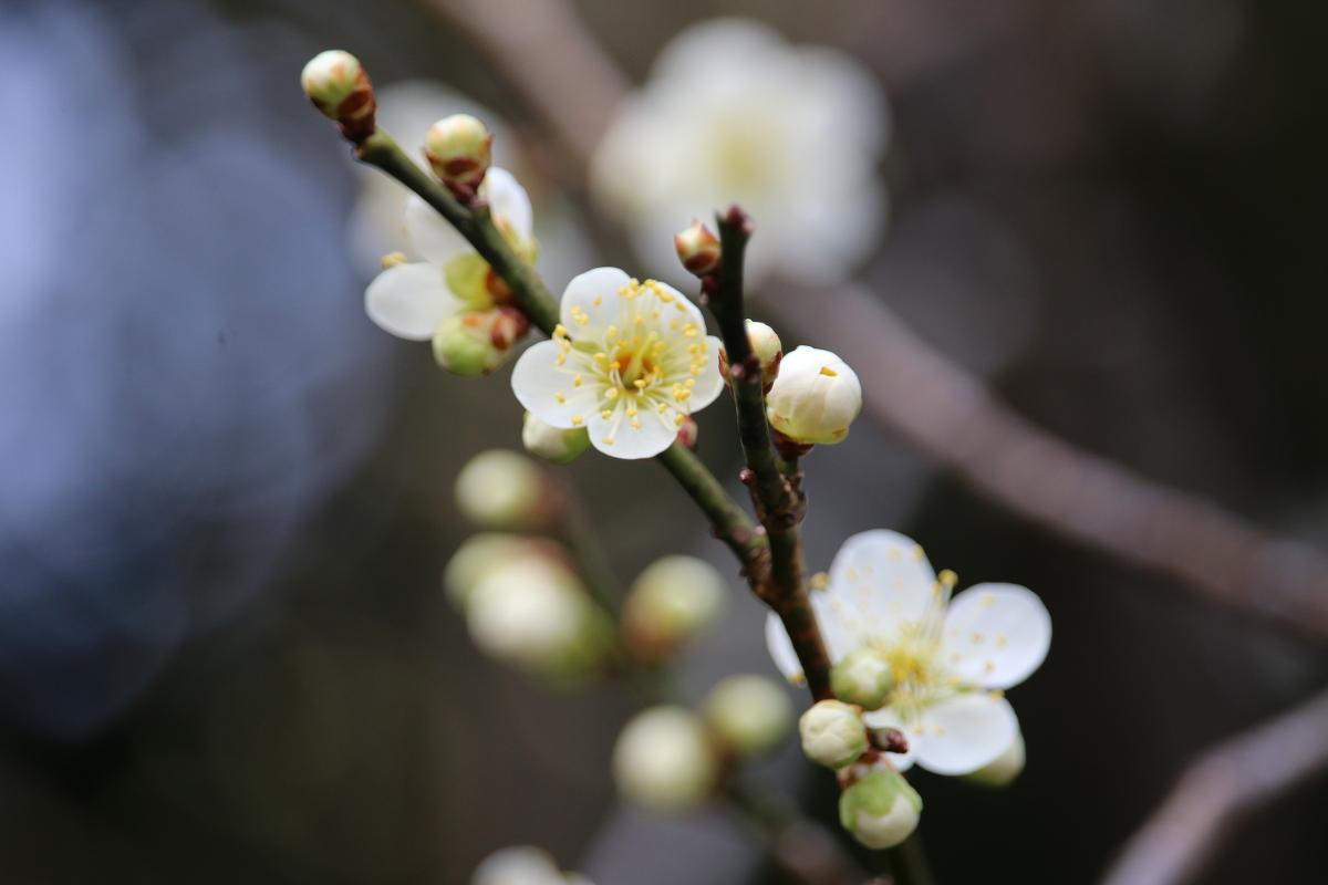 斎庭の草花 春の訪れ『梅』の開花!!!