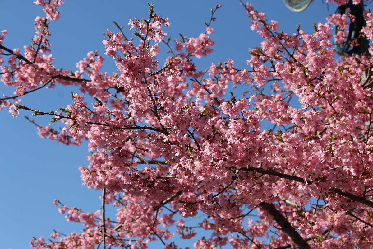 斎庭の草花 春の訪れ『河津桜』の開花!!! ◆明治天皇御製(ぎょせい)・昭憲皇太后御歌(みうた)に親しむ◆