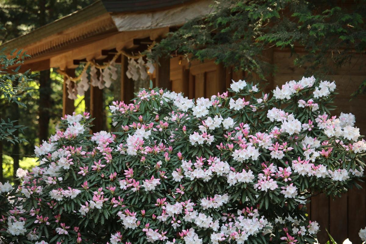 斎庭の草花『シャクナゲ』が見頃を迎えております~桜開花状況更新修了のお知らせ~