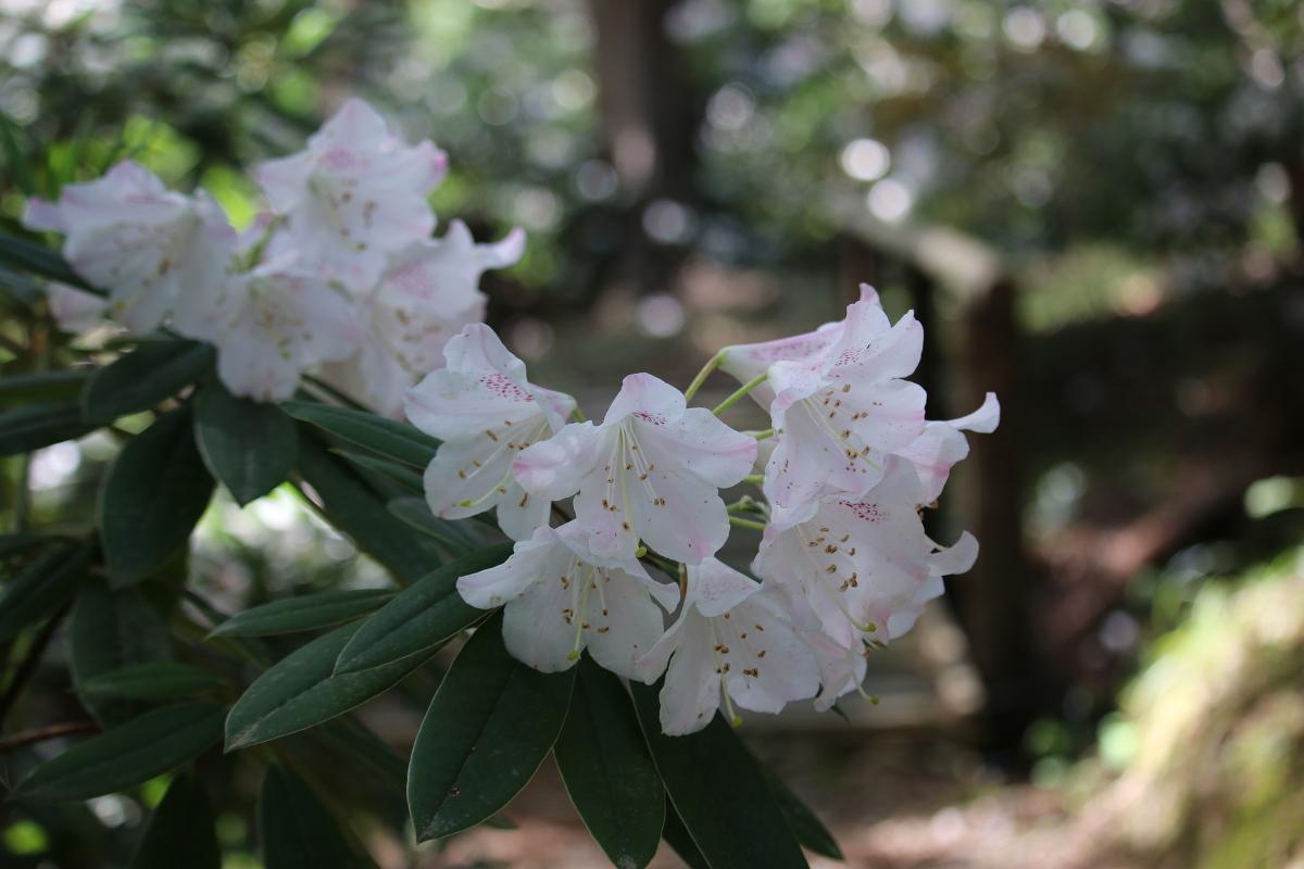 斎庭の草花『シャクナゲ』・『シャガ』が見頃を迎えております ~『ヤブデマリ』『ハナイカダ』開花~
