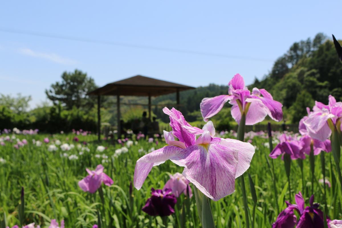 ~初夏の訪れを告げる~『一宮花しょうぶ園』が開園いたしました