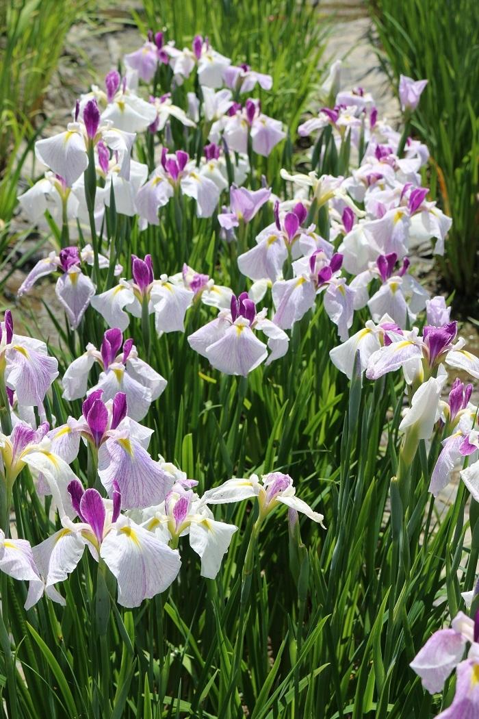 ◆平成30年6月3日(日)「一宮花しょうぶまつり」奉納演奏中止のお知らせ◆ 『一宮花しょうぶ園』開花状況 ~見頃を迎えております~