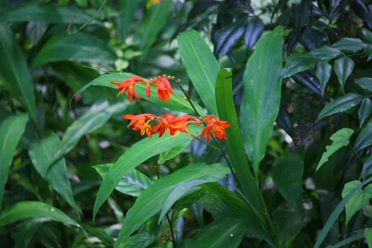 斎庭の草花 ヒメオウギズイセン・ヤマキツネノボタンの開花!!! ■宮川川遊びについての注意事項■