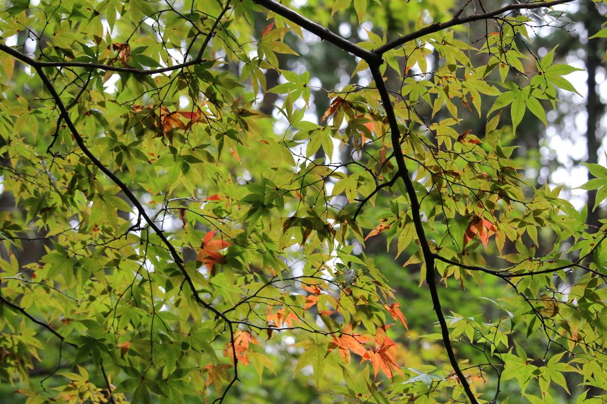 平成30年 小國神社 紅葉情報①「色付きなし」◎見頃は11月下旬から12月上旬◎