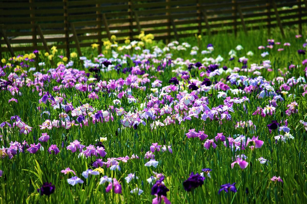 初夏の風物詩『一宮花しょうぶ園』開花状況のお知らせ ~見頃を迎えております~◆明治天皇御製(ぎょせい)・昭憲皇太后御歌(みうた)に親しむ◆