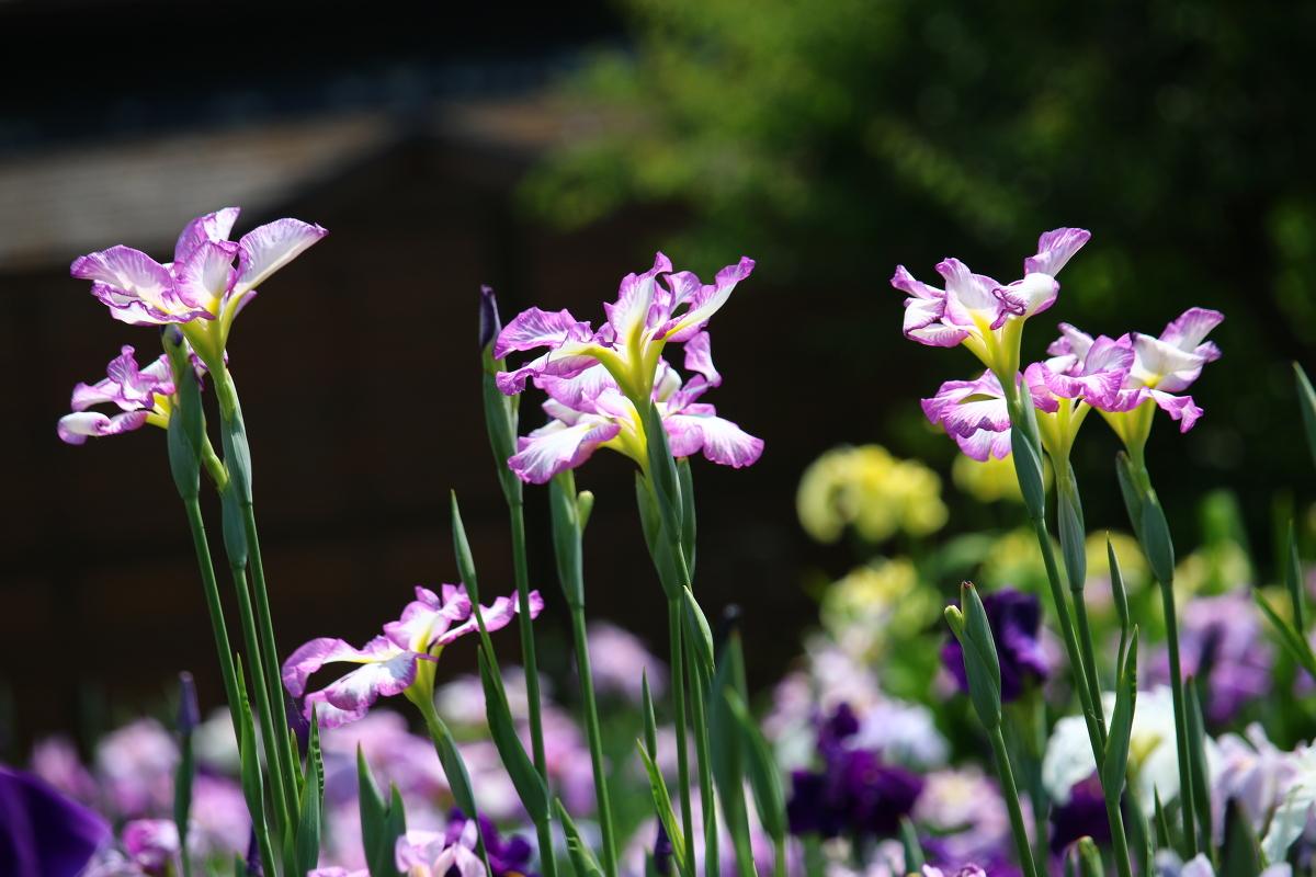 初夏の訪れを告げる『一宮花しょうぶ園』が開園いたしました!!!