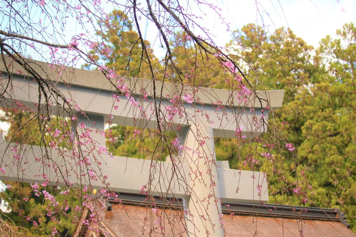 令和2年 桜開花情報をお届けいたします。『開花~咲き始め~』◆明治天皇御製(ぎょせい)・昭憲皇太后御歌(みうた)に親しむ◆