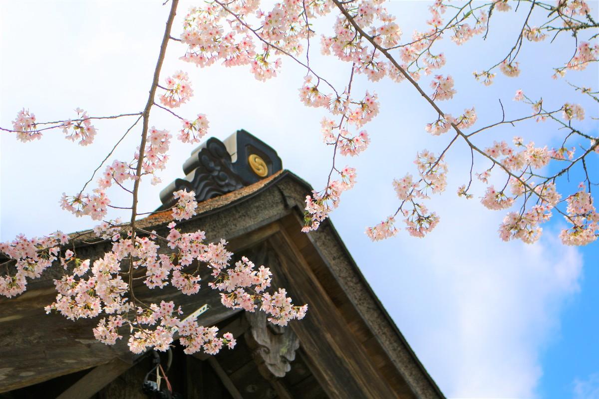 令和2年 桜開花情報をお届けいたします。『8分咲き~満開』◆明治天皇御製(ぎょせい)・昭憲皇太后御歌(みうた)に親しむ◆