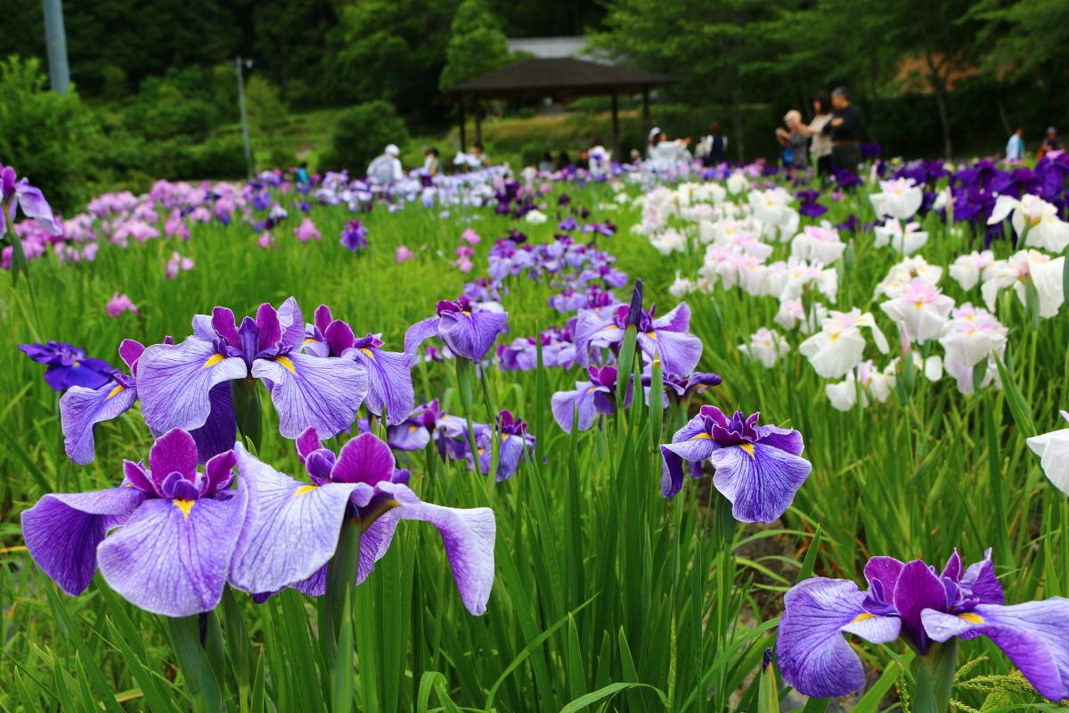 令和2年5月30日より『一宮花しょうぶ園』がいよいよ開園!!!