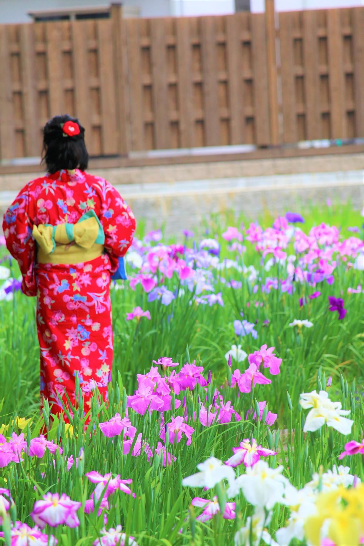 日本の風情、初夏の風物詩『一宮花しょうぶ園』が見頃を迎えています。本年は6月14日まで開園いたします。