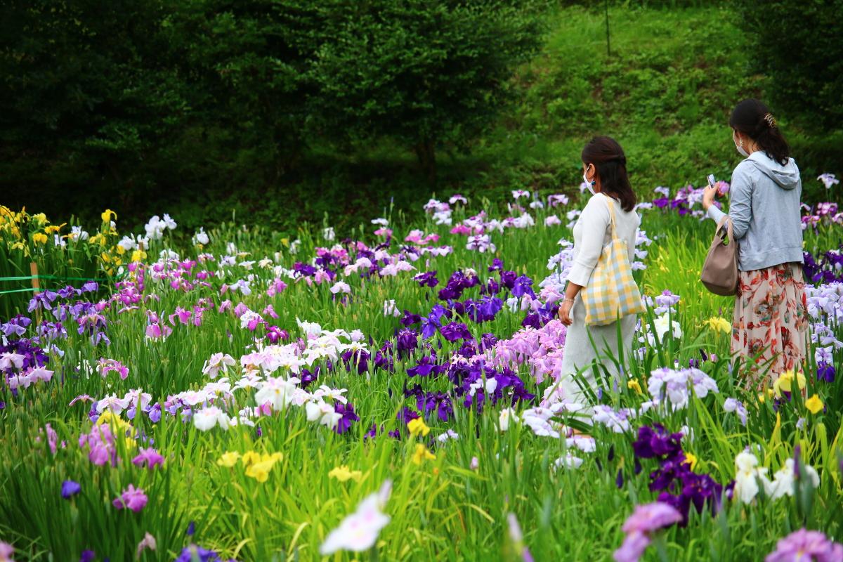 日本の風情、初夏の風物詩『一宮花しょうぶ園』が見頃を迎えています。