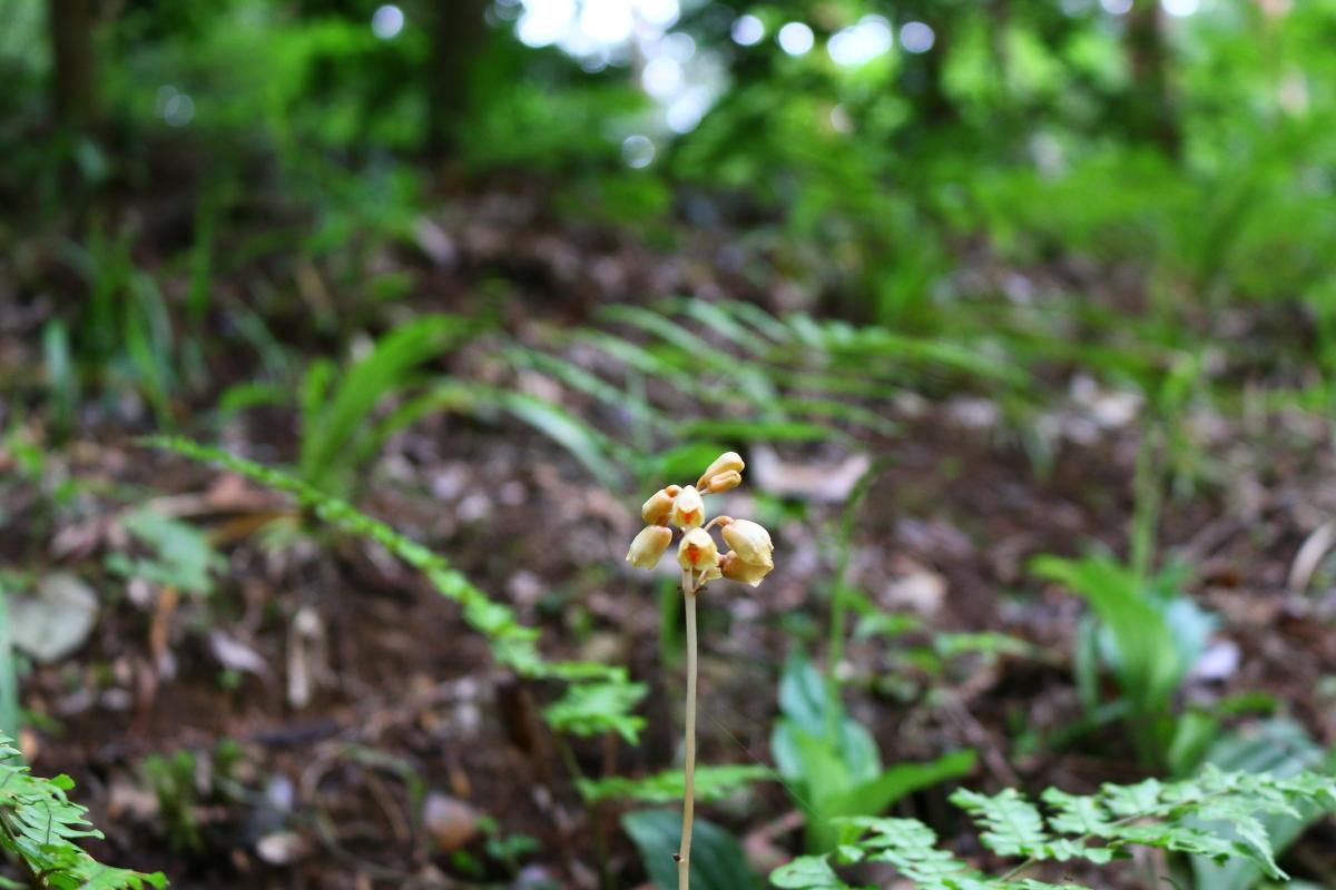 斎庭の草花 ムラサキニガナ・ナヨテンマが開花しています。◆明治天皇御製(ぎょせい)・昭憲皇太后御歌(みうた)に親しむ◆
