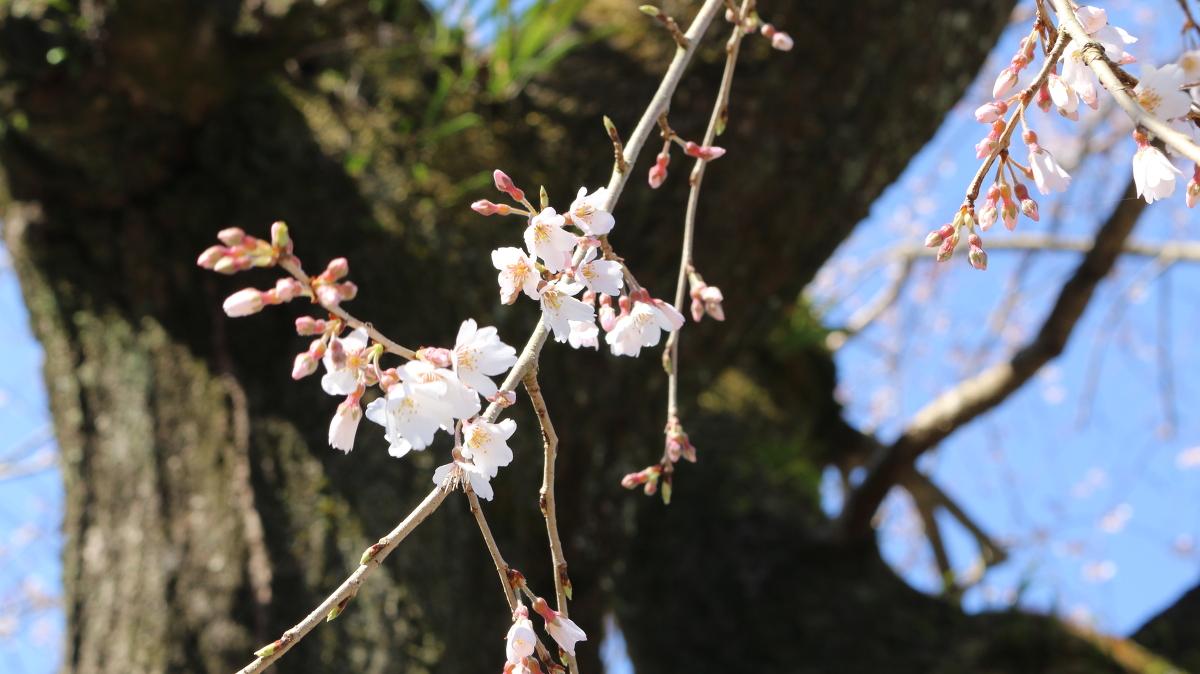 令和3年 桜の開花情報をお届けいたします。◇明治天皇御製(ぎょせい)・昭憲皇太后御歌(みうた)に親しむ◇