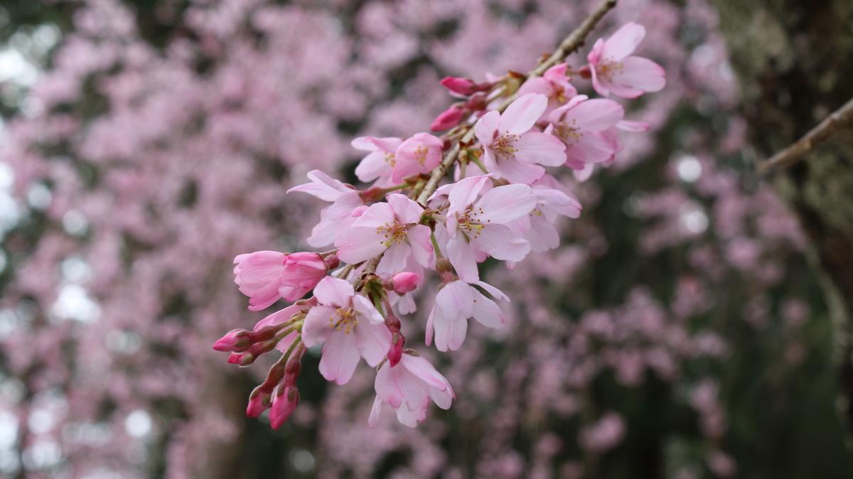 令和3年 桜の開花情報②をお届けいたします。 ◇明治天皇御製(ぎょせい)・昭憲皇太后御歌(みうた)に親しむ◇